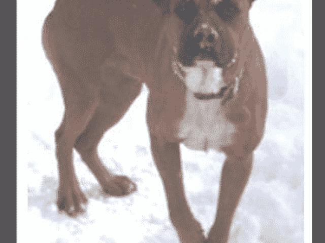Fassa's Friend's Boxer Rescue