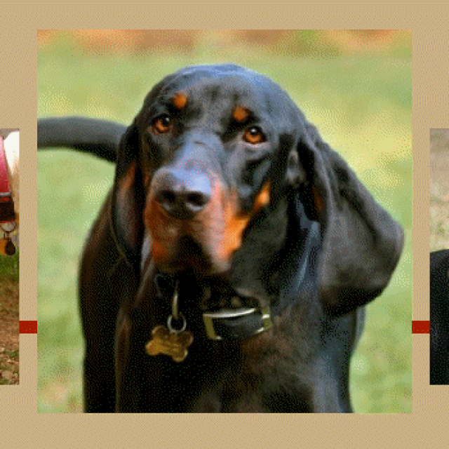 American Black & Tan Coonhound Rescue