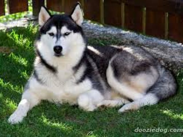 Huskies To Love Siberian Rescue of Maryland