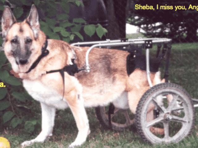 Sheba, My Quadraplegic Dog
