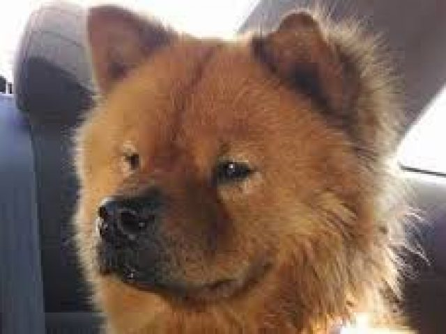 Chow Chow Rescue of Maryland