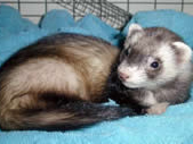 """The Ferret Haven """"By-the-Sea"""""""