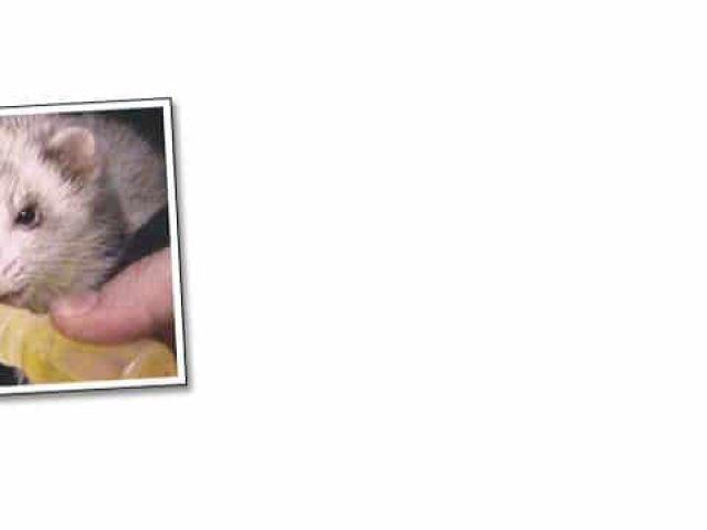 The Pennsylvania Ferret Club & Shelter