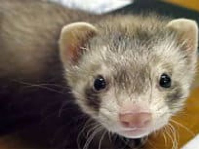 Ferrets First Rescue and Placement of Northern Virginia