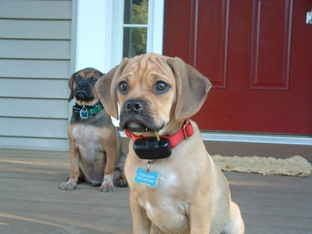 American Dog Guard